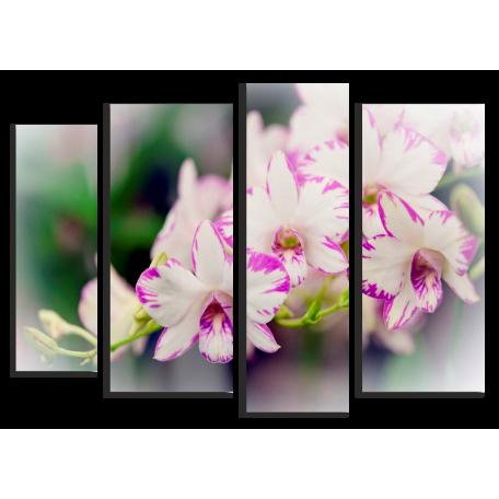 Орхидея нежная